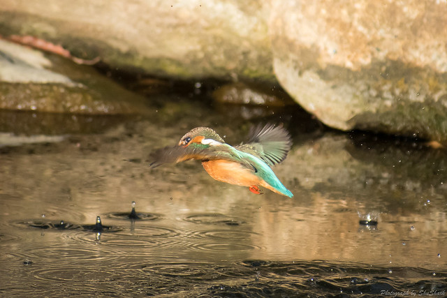 20180126-kingfisher-DSC_5625