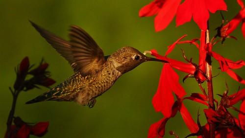 Hummingbirds in the yard (103)