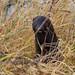 Wild American Mink (Neovison vison)