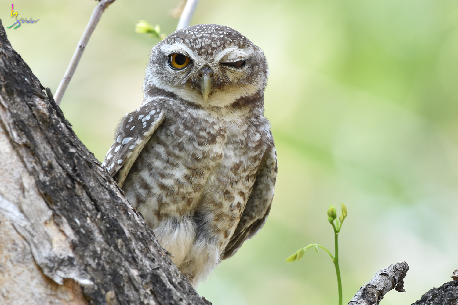 Spotted_Owlet_4913