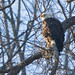 Bald Eagle morning light -  Pittsburgh