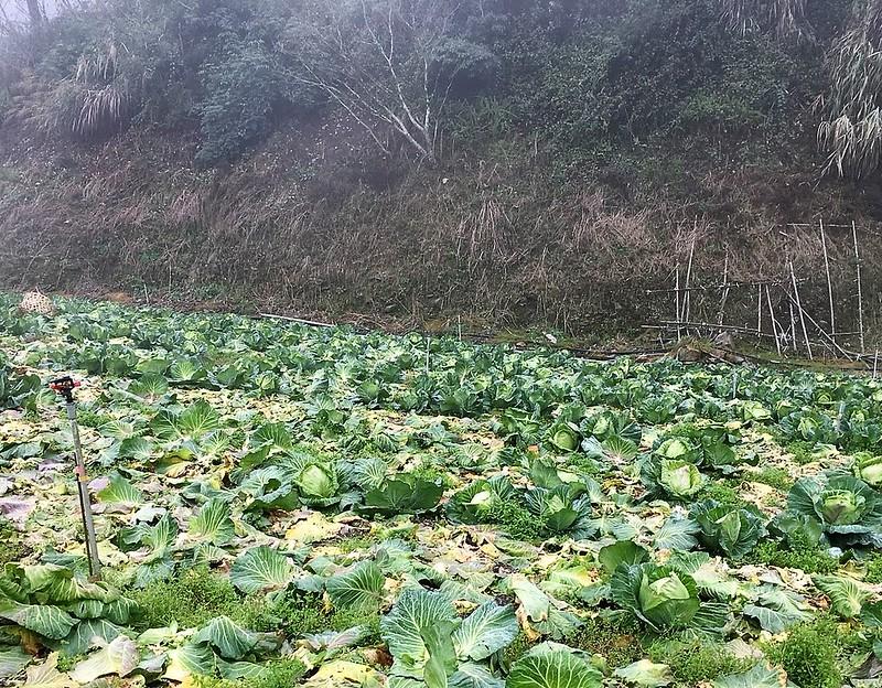 福山農場 高麗菜 (23)