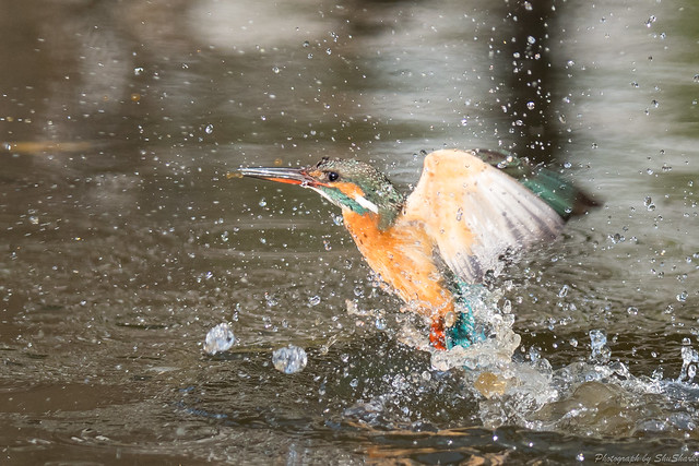 20180203-kingfisher-DSC_6961