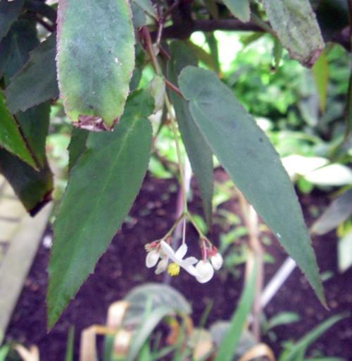 Begonia dietrichiana 25788897428_08acaaf941_o