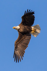 American Bald Eagle Inflight Looking for Dinner
