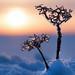 iced weeds by marianna armata