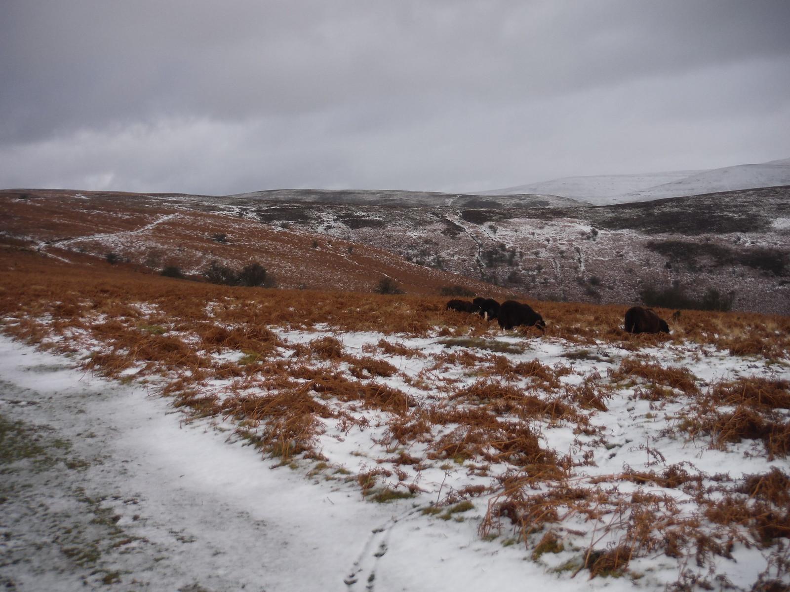 Black Sheep on Mynydd Llangorse SWC Walk 308 - Bwlch Circular (via Mynydd Troed and Llangorse Lake)