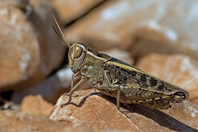 Calliptamus italicus - the Italian Locust