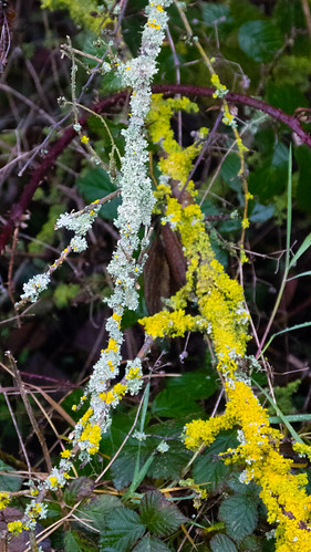 Two lichens on adjacent twigs