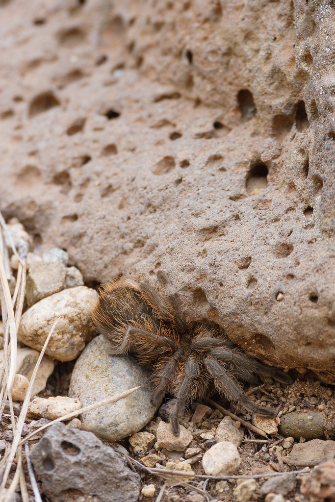 A tarantula tries to hide in a crevice under a rock