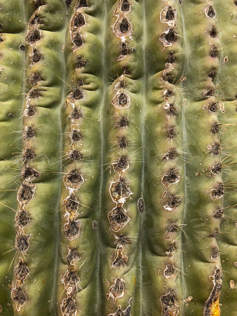 A close up of the spines on a saguaro cactus in Pinnacle Peak Park in Scottsdale, Arizona