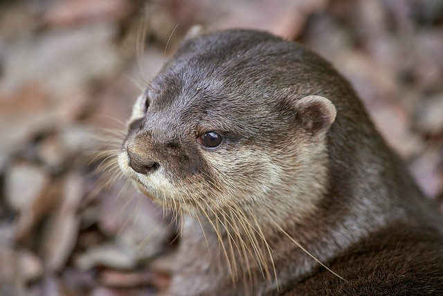 the eye of the otter