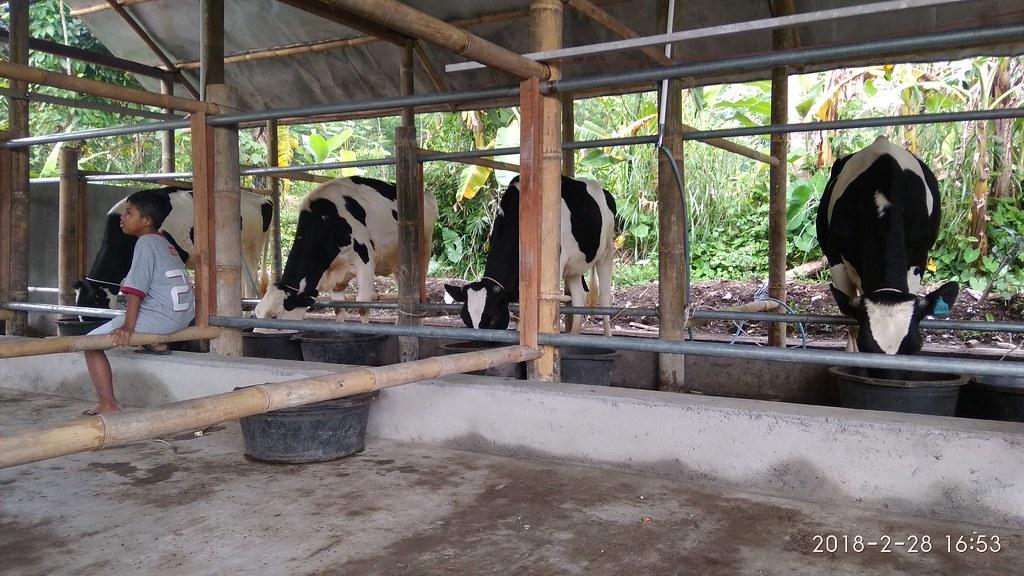 4 ekor pertama sapi perah PP/PA Sabilulhuda
