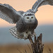 Snowy Owl - portrait at 1000mm.