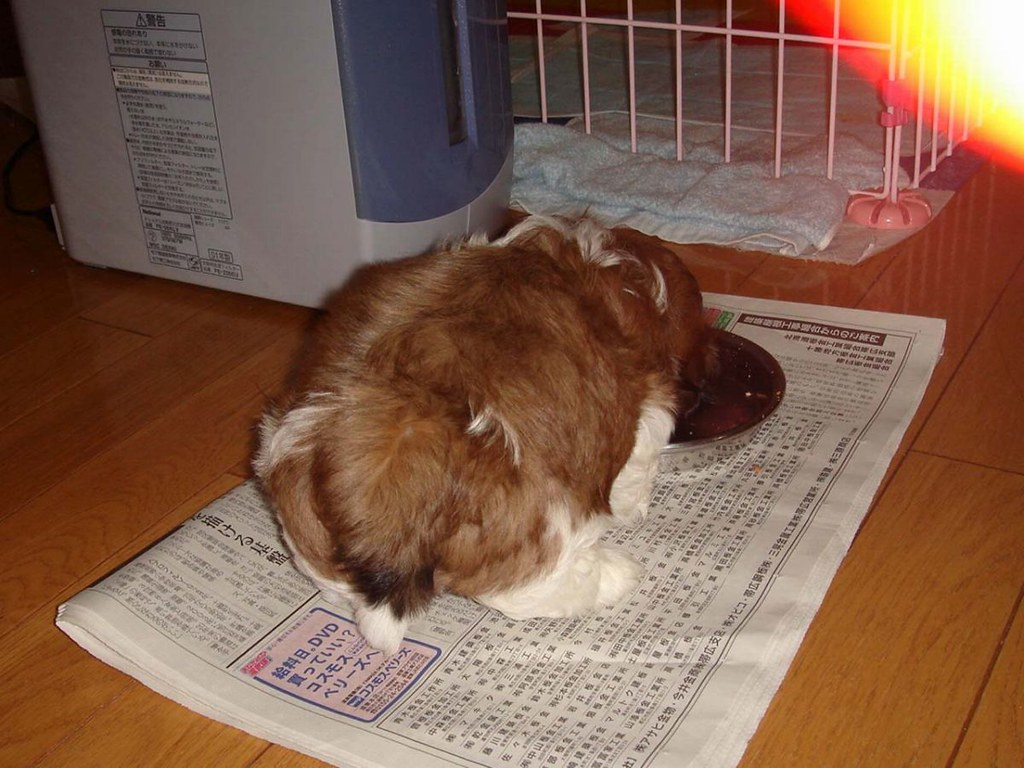 シーズー子犬のお食事タイム生後2か月