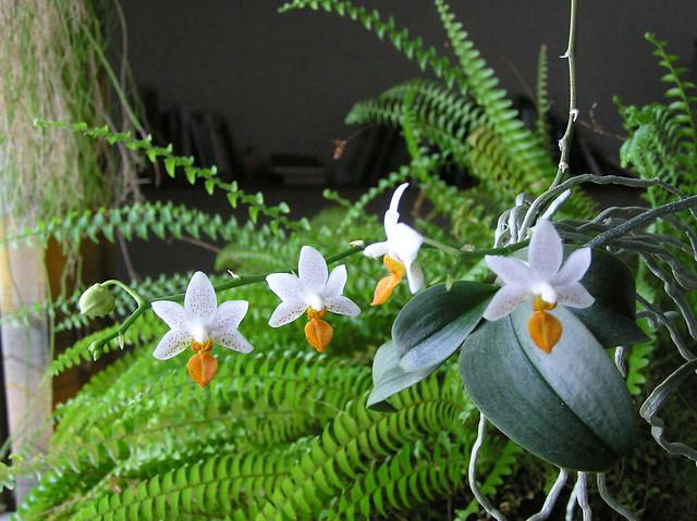 Phalaenopsis 'Mini Mark'