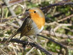 Thorn Bird-Robin P1570211