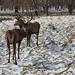 Wollaton deer in snow