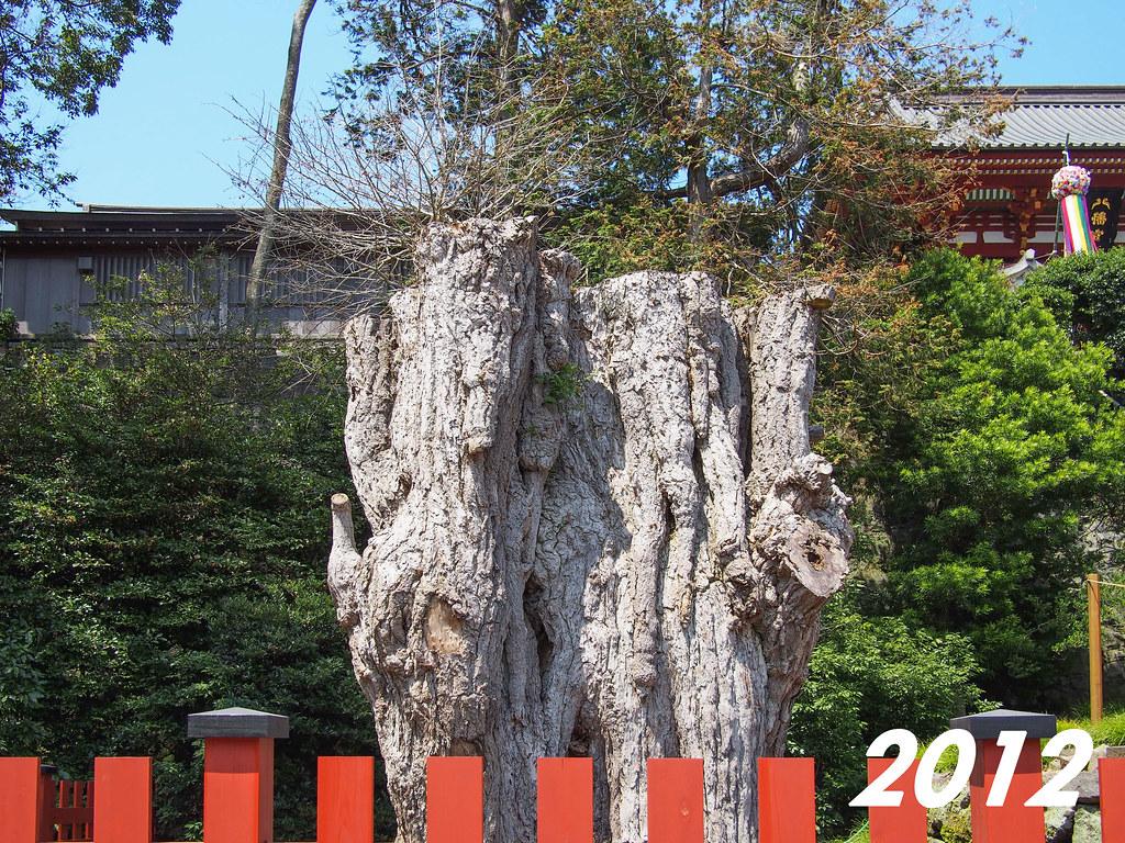 Tsurugaoka Hachimangū | The Giant Ginkgo 2012