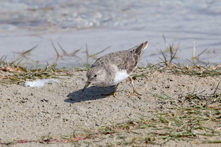 Temminck's Stint at Taqah S24A5441