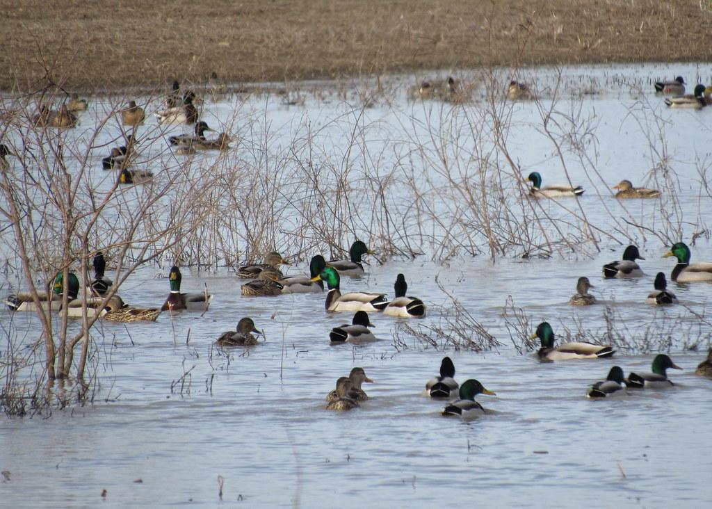 Mallards at Horseshoe Lake