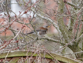 Fieldfare 1 | by Barry JP