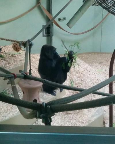 Gorilla (4) #toronto #torontozoo #mammal #gorilla #primate #latergram