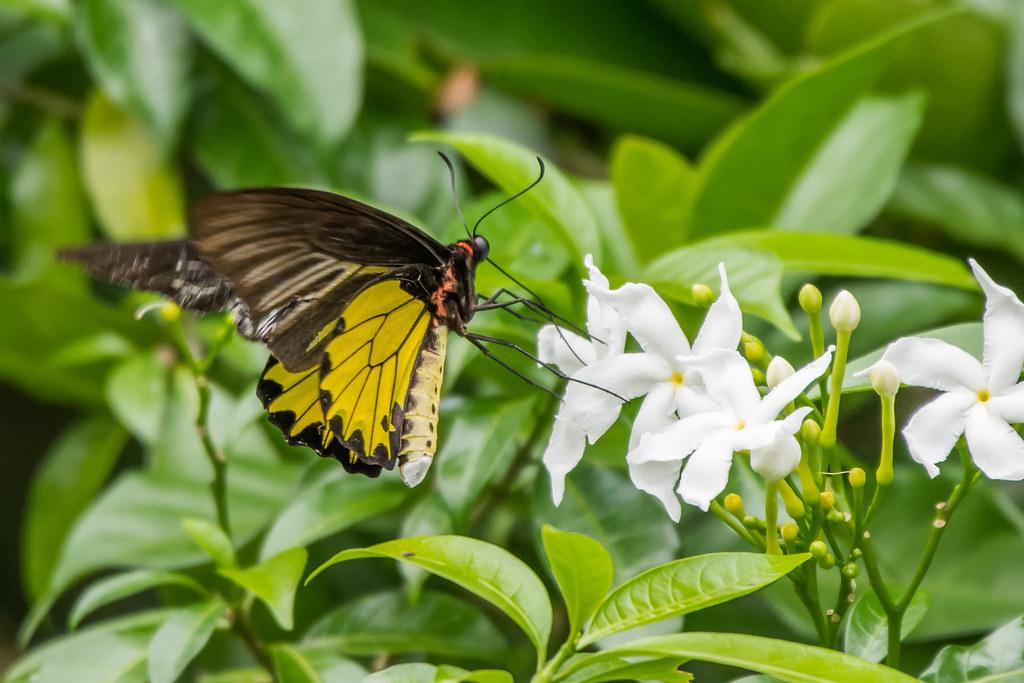 Первые прогулки в 2018. Ботанический Сад. Sunbird, Malayan, Backed, Olive, градиенте, Король, местной, птичкофотографов, Common, Fisher, Monitor, Чтото, дождливую, погоду, очень, много, Впервые, видел, огромную, бабочку