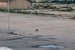 Aruba Street Dogs