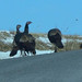 Small photo of Wild Turkey flock