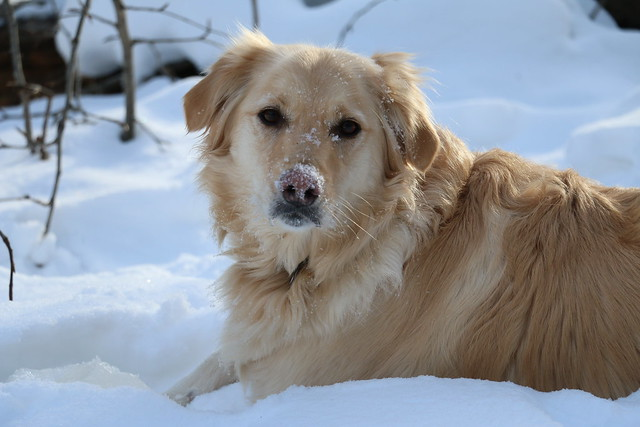 Snow Puppy (SOTC 272/365)