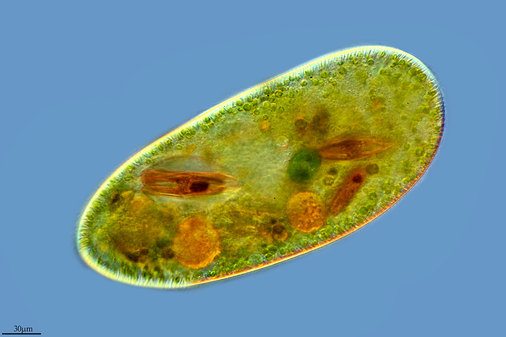 protistas Protists definition, any of various one-celled organisms, classified in the kingdom protista, that are either free-living or aggregated into simple colonies and that have diverse reproductive and nutritional modes, including the protozoans, eukaryotic algae, and slime molds: some classification schemes also include the fungi and the more primitive bacteria and blue-green algae or may.