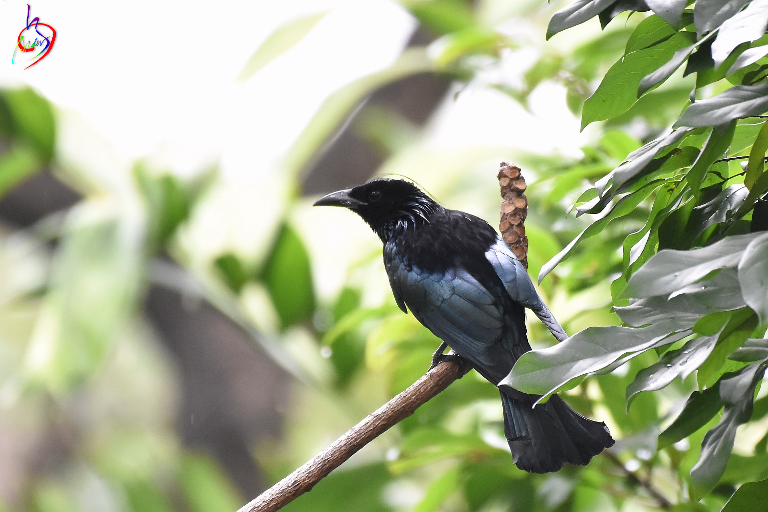 Hair-crested_Drongo_4035
