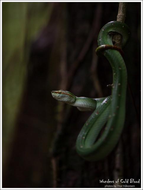 Tropidoleamus wagleri