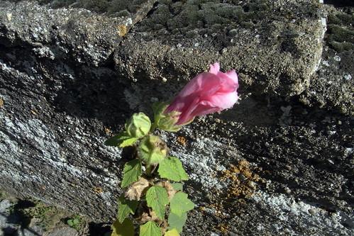 20100822 123 0102 Jakobus Stockrose rosa Blume_K