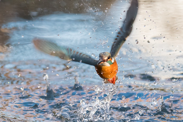 20180114-kingfisher-DSC_4270