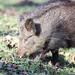 Wild Boar Sus scrofa Sowe 028-1