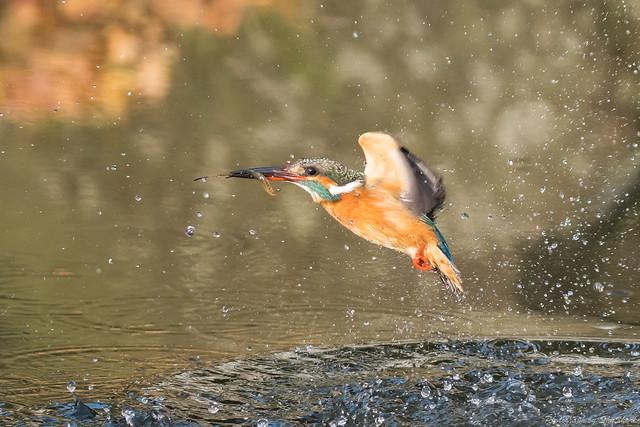 20180203-kingfisher-DSC_6846