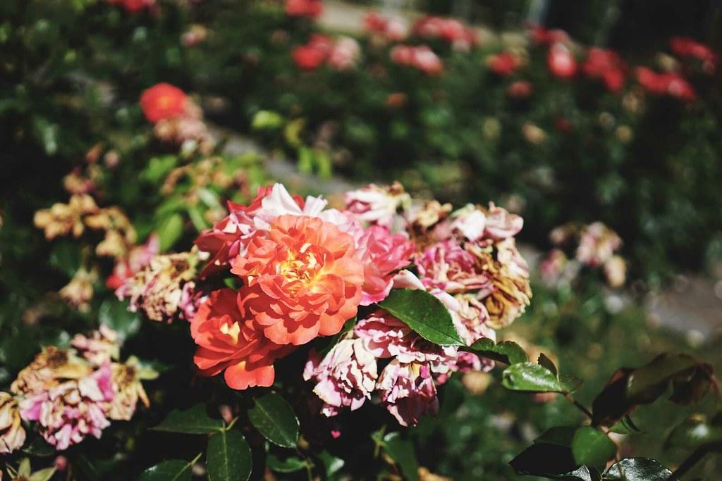 09-roses