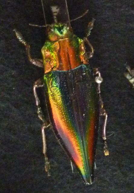 Cyphogastra javanica (3-8-17 König Museum)