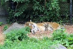 Como Park Zoo - Amur or Siberian Tiger