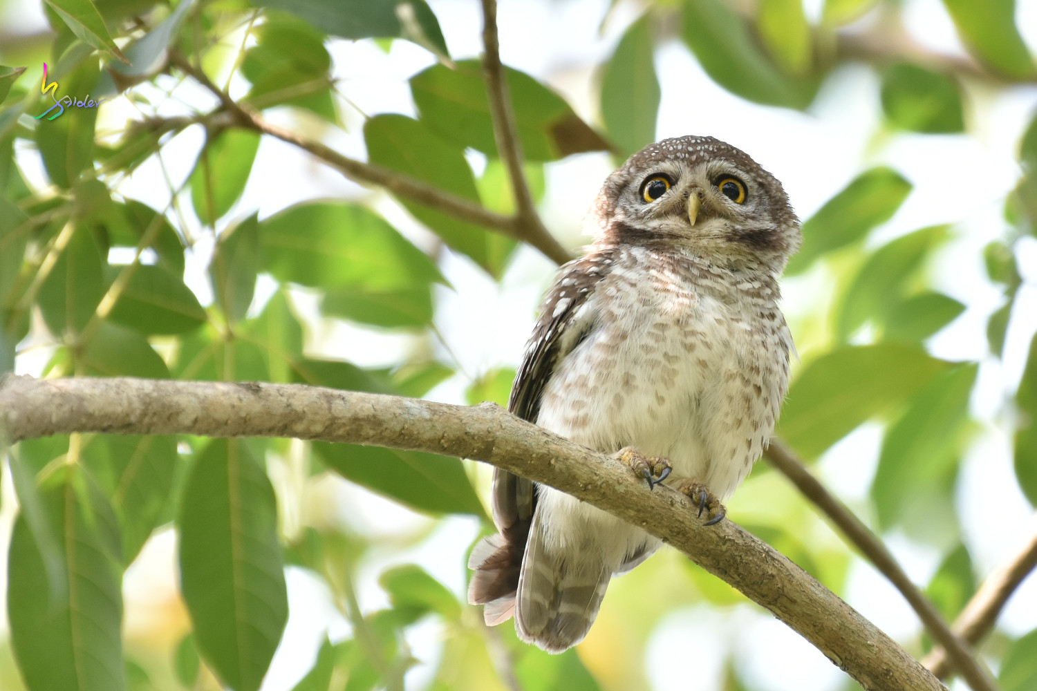 Spotted_Owlet_0418