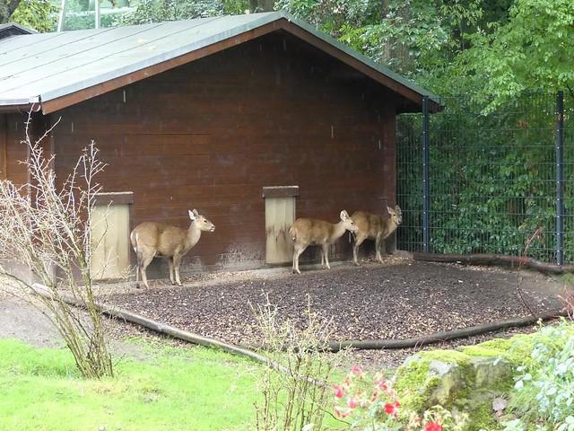 Nilgauantilope, Zoo Dresden