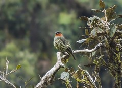Chestnut-crested Cotinga (Ampelion rufaxilla)