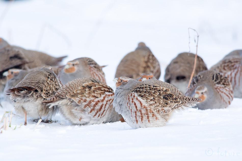 Nurmkana, Perdix, Grey, Partridge, Gray, Francolin, Common, Estonia, English, hungarian, hun, Kaido Rummel