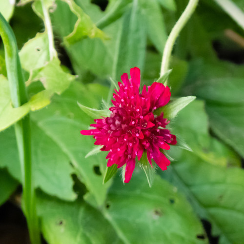 Red, green: scabious flowering