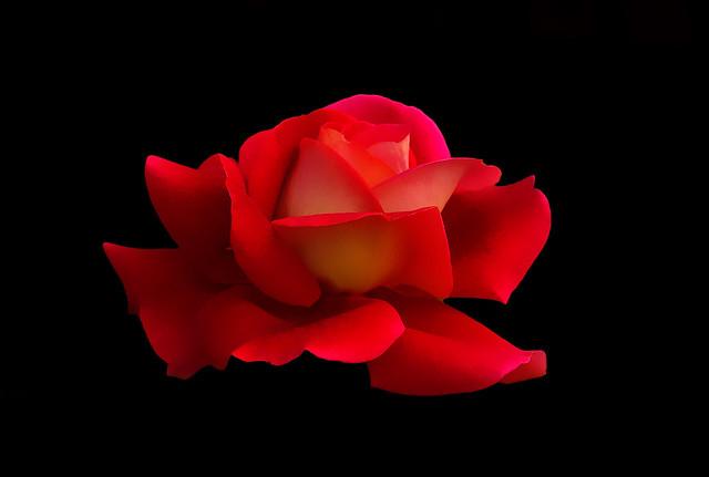 IMGP0046 Rose