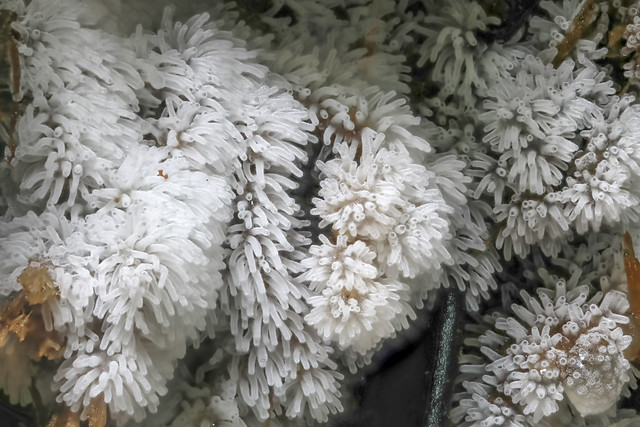 Honeycomb Coral Slime Mold (Ceratiomyxa fruticulosa), Mamaku, NZ (2 of 2)
