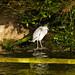 Heron gathering twigs