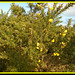 Gorse coming into flower